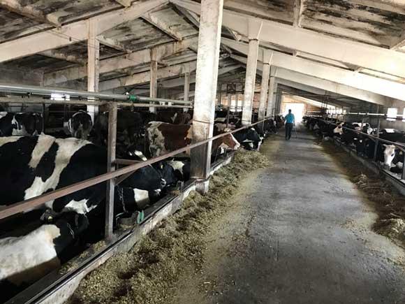 На фермах Канівського району животіють лише 34 корови