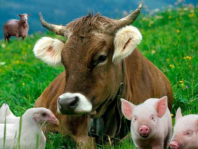 В Уманському районі у два рази більше виробили м'яса, ніж минулого року