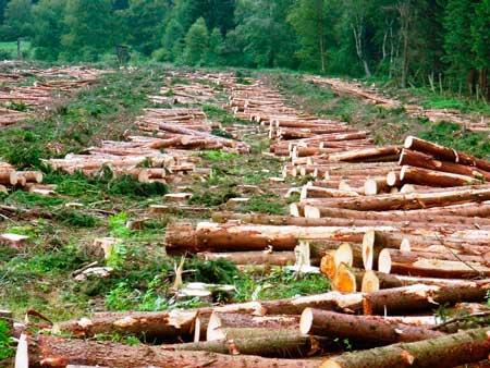 На Шполянщині незаконно зрубали 230 дерев