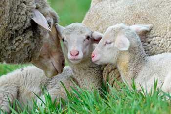 Жительница ЮАР спрятала в спальне 12 овец