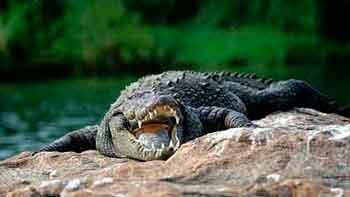 На аукціоні в Африці продавали крокодилів