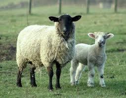 В Уельсі овець підключать до Інтернету