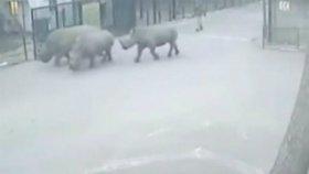 В Ізраїлі носороги прокралися повз охорону і втекли із зоопарку
