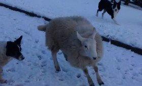 Вівця почала вважати себе собакою