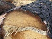 У лісництві вирубують дерева, яким по 145 років