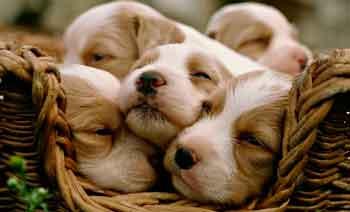 Американські вчені радять частіше цілувати собак для зміцнення здоров'я