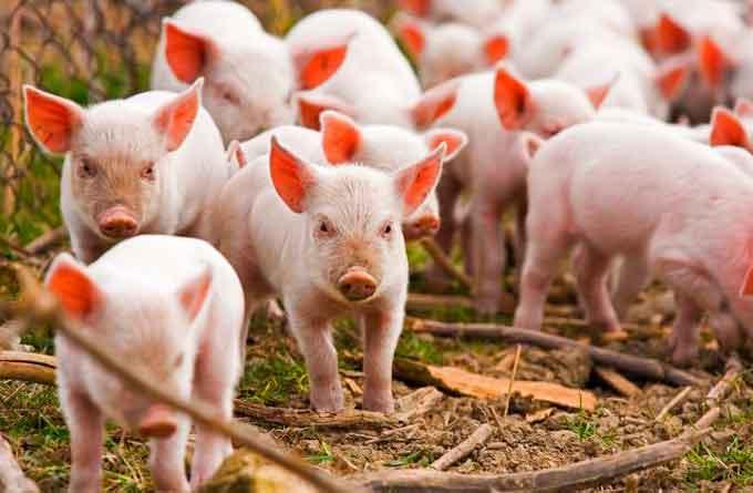 Через Черкащину намагалися провезти заражених африканською чумою свиней