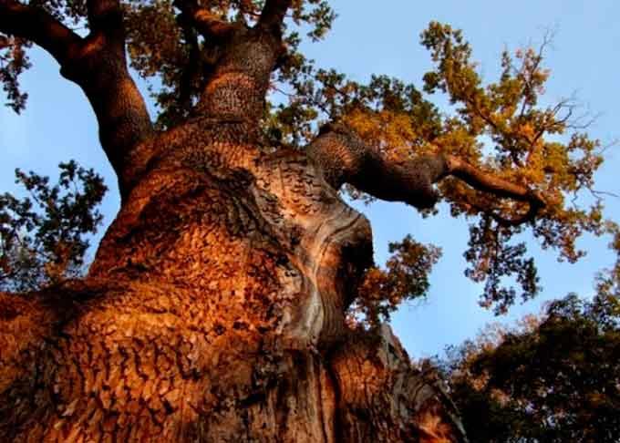 П'ятірка найзнаменитіших дерев Черкащини
