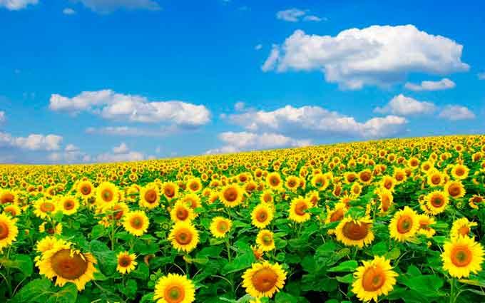 Черкащина в рази збільшила посіви соняшника, ріпаку та сої