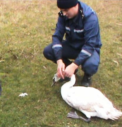 Рятувальники звільнили з крижаного полону лебедя (відео)