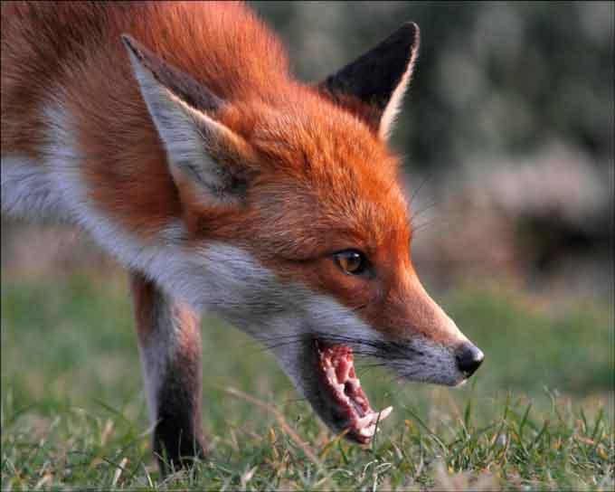 На Звенигородщині скажена лисиця покусала трьох жителів
