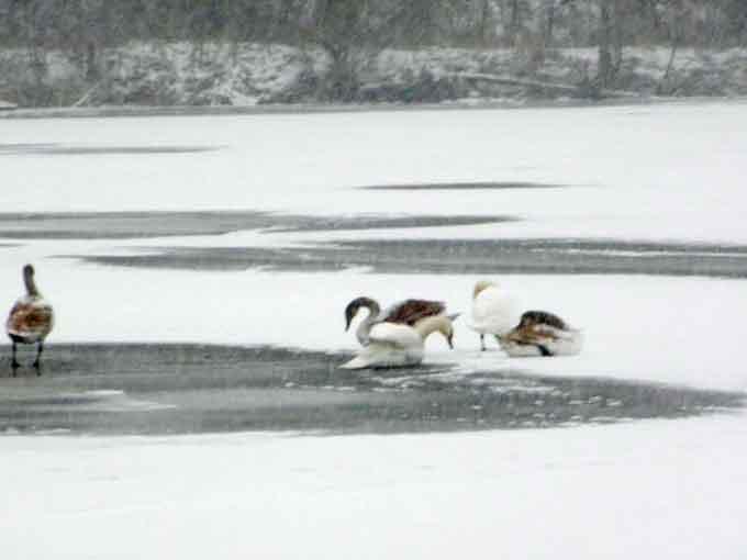 У Лисянці на ставку замерзають лебеді