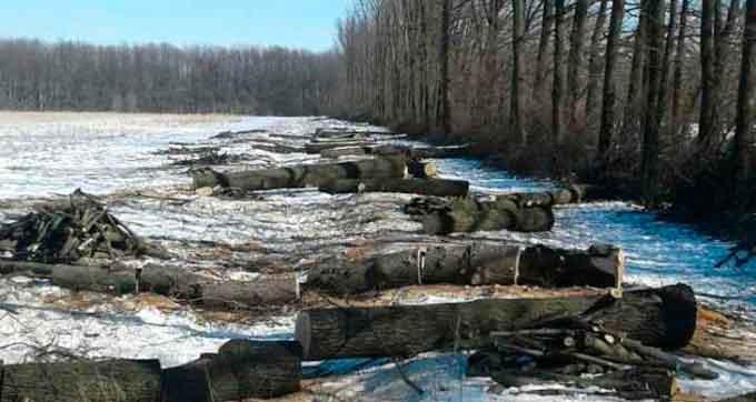 У Смілянському районі зловмисники вирубили понад 100 дерев