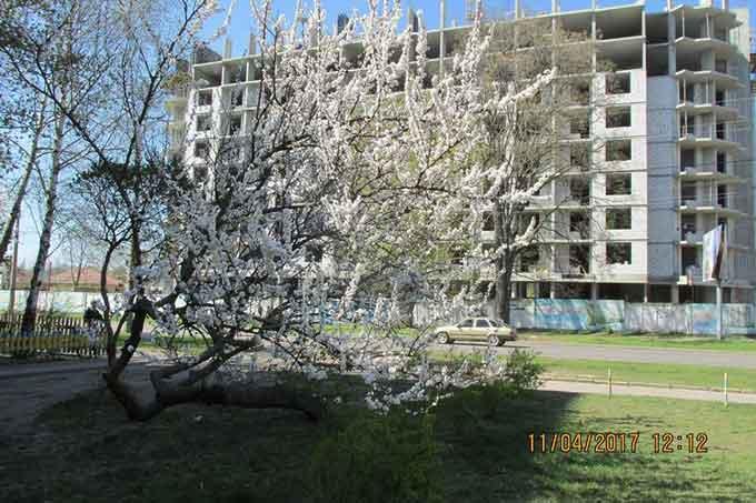 Черкаське дерево вражає своєю жагою до життя