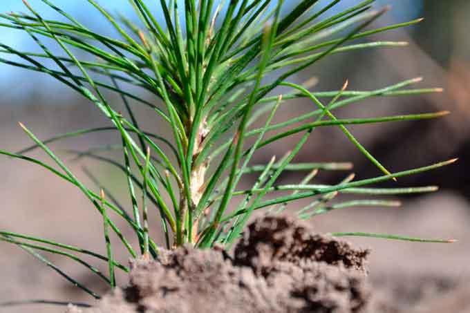 Золотоніські лісівники виростили майже 900 тисяч сіянців для весняної лісокультурної кампанії