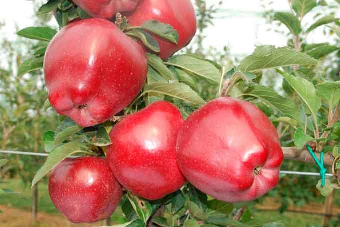 На Черкащині буде найгірший урожай яблук за останні шість років