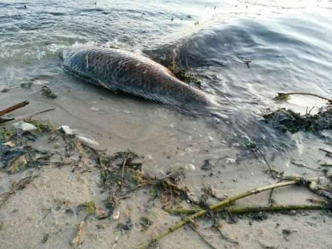 Фотофакт: у Леськах виявили купу мертвої риби