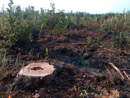 У Млієві незаконно зрубали 371 дерево