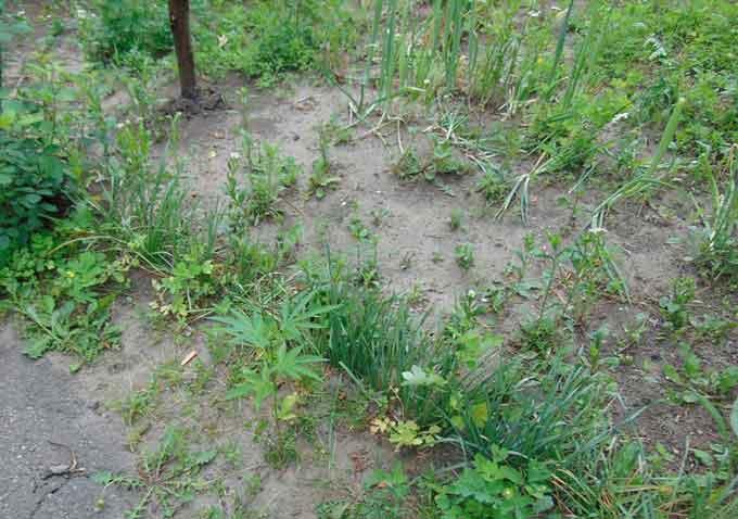 У Золотоніському районі чоловік на пасовищі вирощував коноплі