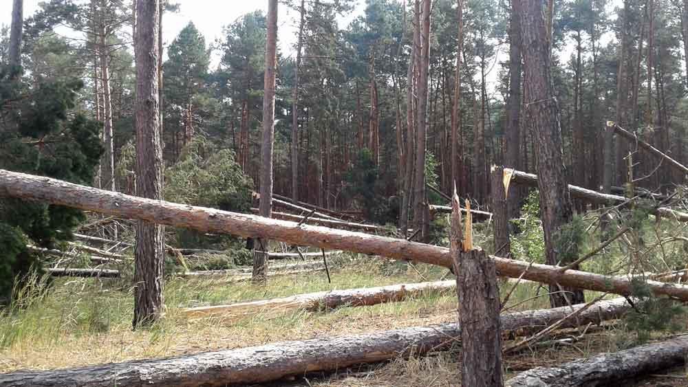 Буревій у Ліплявському лісництві пошкодив десятки гектарів соснового лісу (фото)