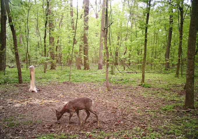 Який звір водиться у смілянських лісах зафіксували фотопастки (фото, відео)