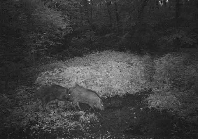 Лісівники зафільмували, як живуть дикі тварини на Черкащині (відео)