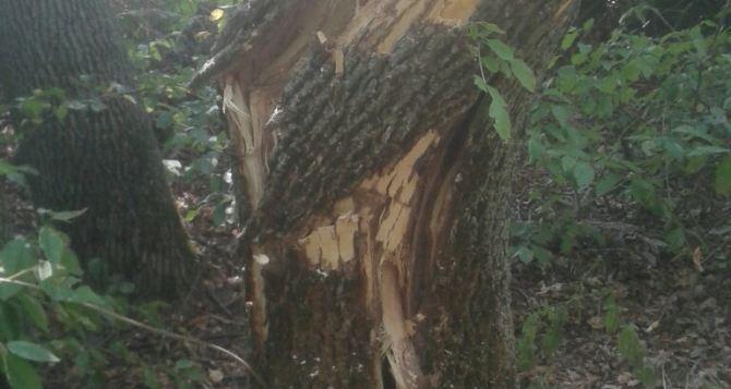 В Умані «на гарячому» за незаконну рубку дерев затримані двоє громадян