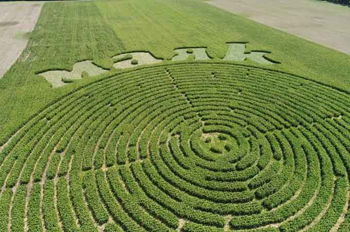 Кукурудзяний лабіринт з'явився на угіддях «Агрофірми «Маяк» (фото)