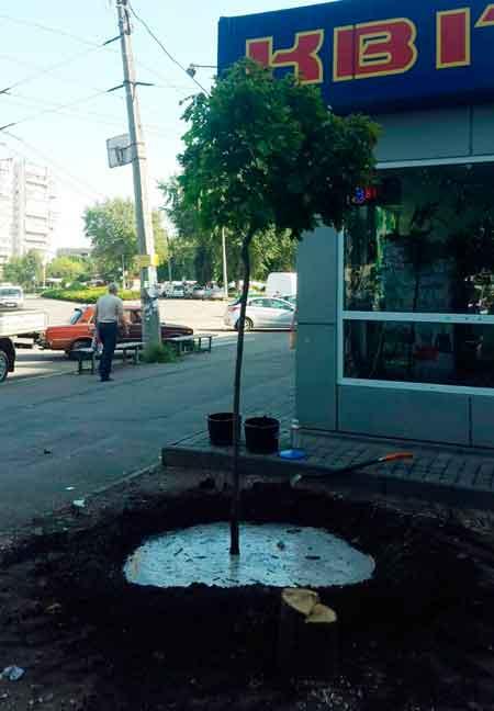 На місці зрізаних дерев на площі 700-річчя висадили клени (фото)