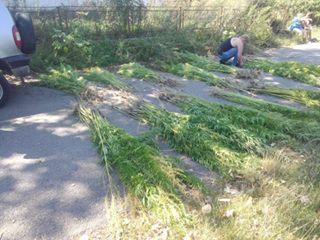 У жителя Шполянського району поліцейські виявили посів коноплі, близько шістсот рослин (фото)
