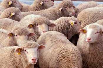Вівчарство на Черкащині не користується популярністю