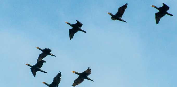 Над перекритим Черкаським мостом зафіксовано масовий переліт птахів (відео)