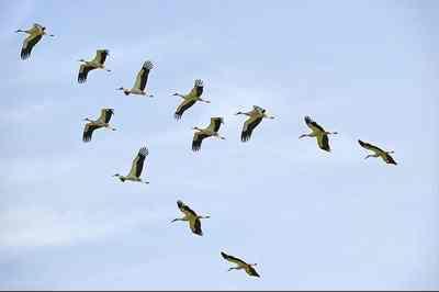 Попри холоди на Черкащині йде міграція птахів