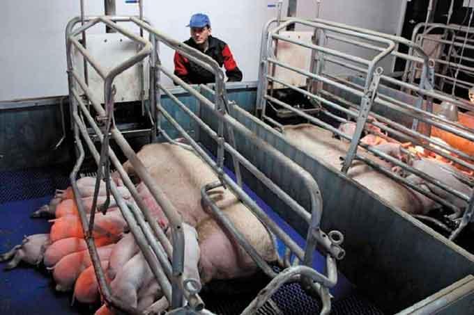 Австрійський фермер на Черкащині вирощує безпечне м'ясо