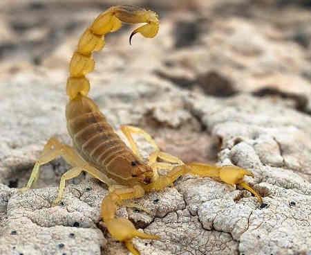 дрібні памірські скорпіони