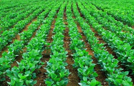 Експерт агроринку радить, як виростити рекордні врожаї сої