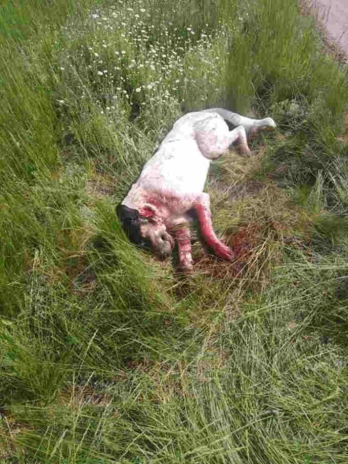 Вранці 12 травня у селі Хацьки Черкаського району місцевий житель у нетверезому стані двома пострілами убив безпритульну собаку – на очах у дорослої жінки та 8 маленьких дітей.