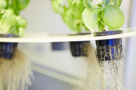 У Черкасах зібрали перший врожай з насіння, що росло в повітрі