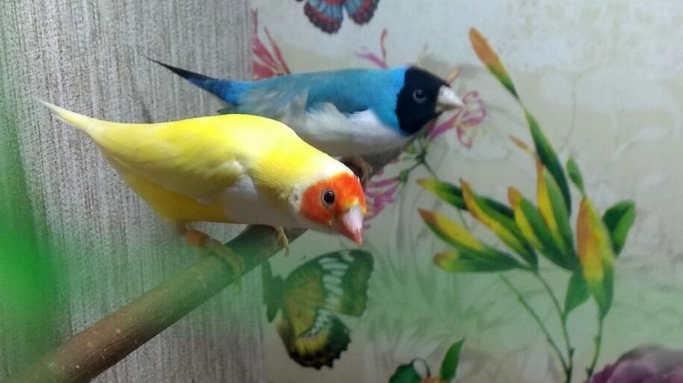 Житель Золотоноші розводить декоративних птахів та вирощує гранати