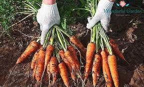 шукають працівників для збору урожаю моркви