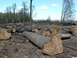 На Золотоніщині селянин незаконно зрубав п'ять кленів, йому загрожує від трьох до п'яти років позбавлення волі
