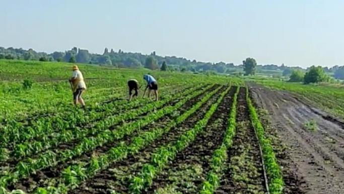 У Золотоніському районі 15 робітників-нелегалів сапали у полі перець (фото)