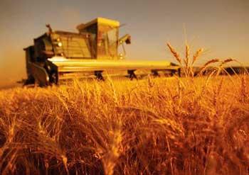 На Уманщині розпочався збір ранніх зернових культур