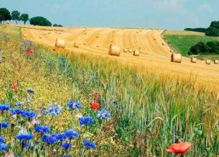 Чорнобаївський район знаходиться серед лідерів в області по урожайності